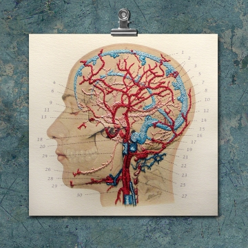Anatomy Art. Veins and Arteries of the Head